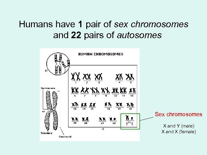 Humans have 1 pair of sex chromosomes and 22 pairs of autosomes Sex chromosomes