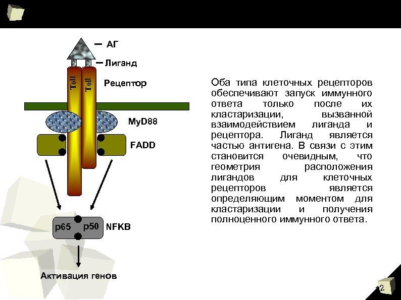 АГ Toll Лиганд Рецептор My. D 88 FADD p 65 p 50 NFKB Оба