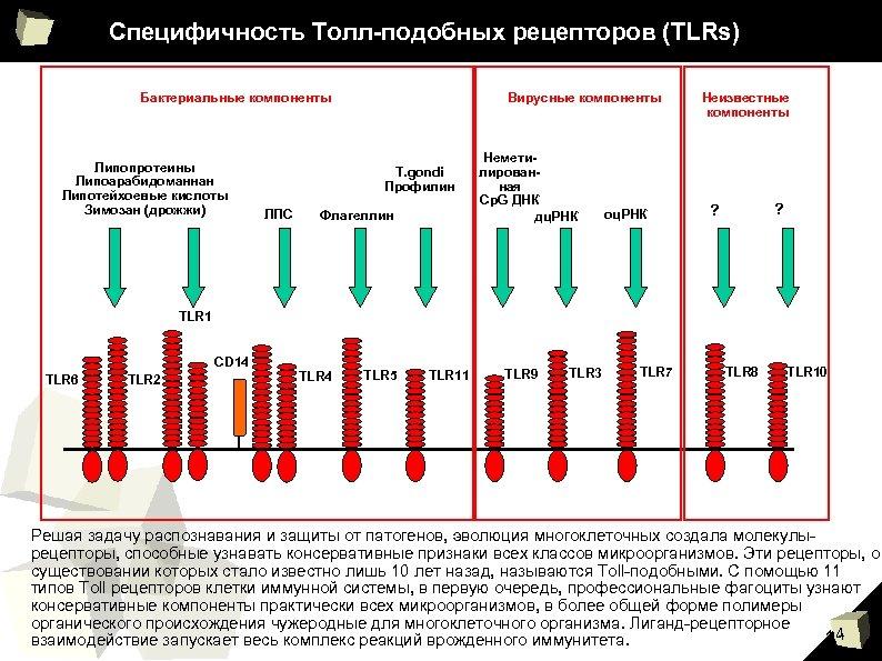 Специфичность Толл-подобных рецепторов (TLRs) Бактериальные компоненты Липопротеины Липоарабидоманнан Липотейхоевые кислоты Зимозан (дрожжи) Вирусные компоненты
