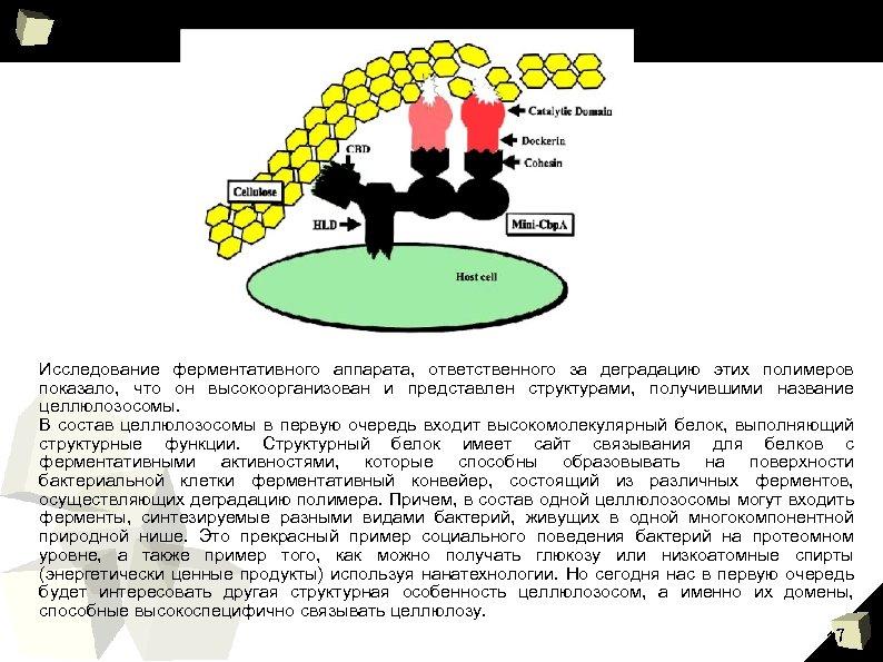 Исследование ферментативного аппарата, ответственного за деградацию этих полимеров показало, что он высокоорганизован и представлен