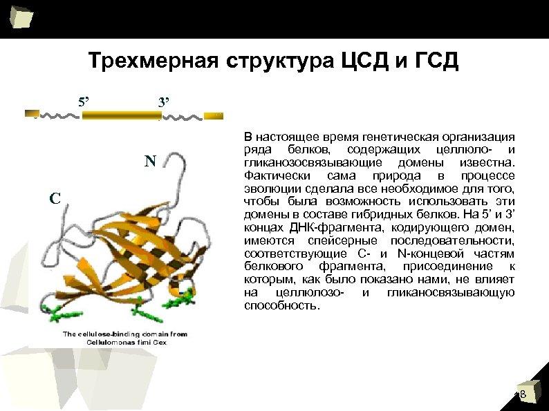 Трехмерная структура ЦСД и ГСД 5' 3' N C В настоящее время генетическая организация