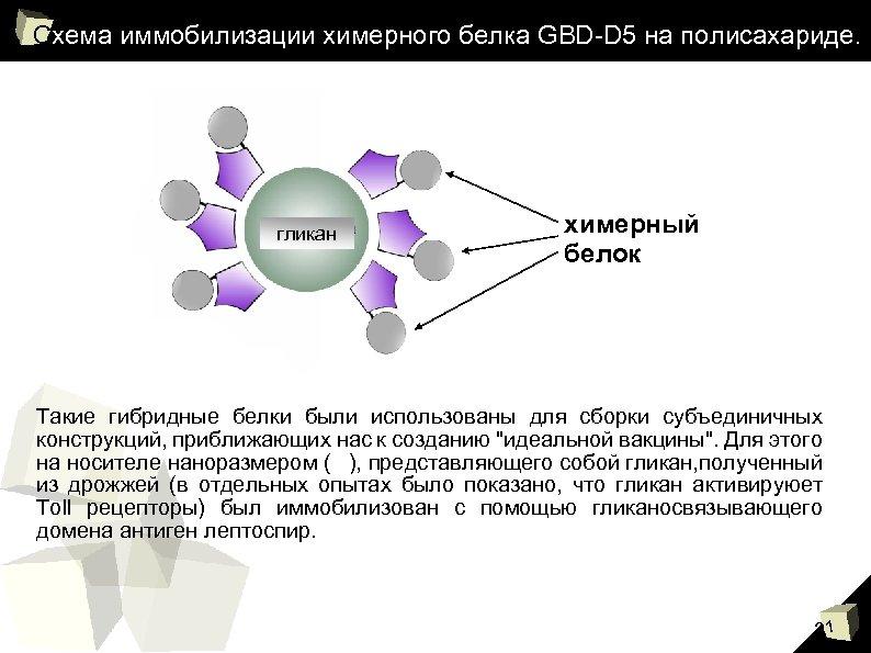 Схема иммобилизации химерного белка GBD-D 5 на полисахариде. гликан химерный белок Такие гибридные белки