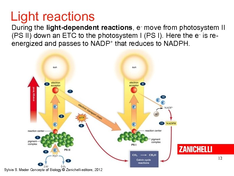 Light reactions During the light-dependent reactions, e- move from photosystem II (PS II) down