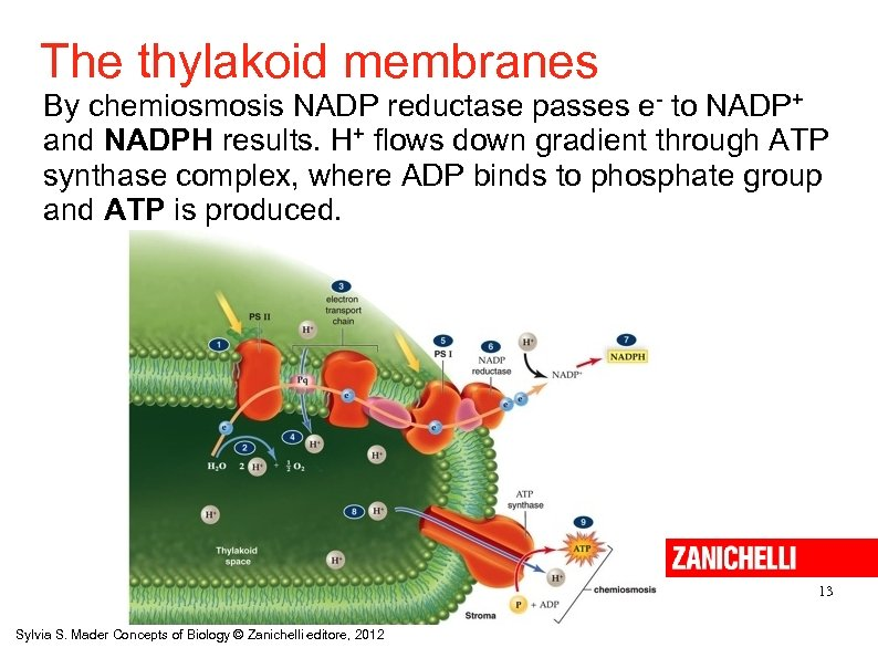 The thylakoid membranes By chemiosmosis NADP reductase passes e- to NADP+ and NADPH results.