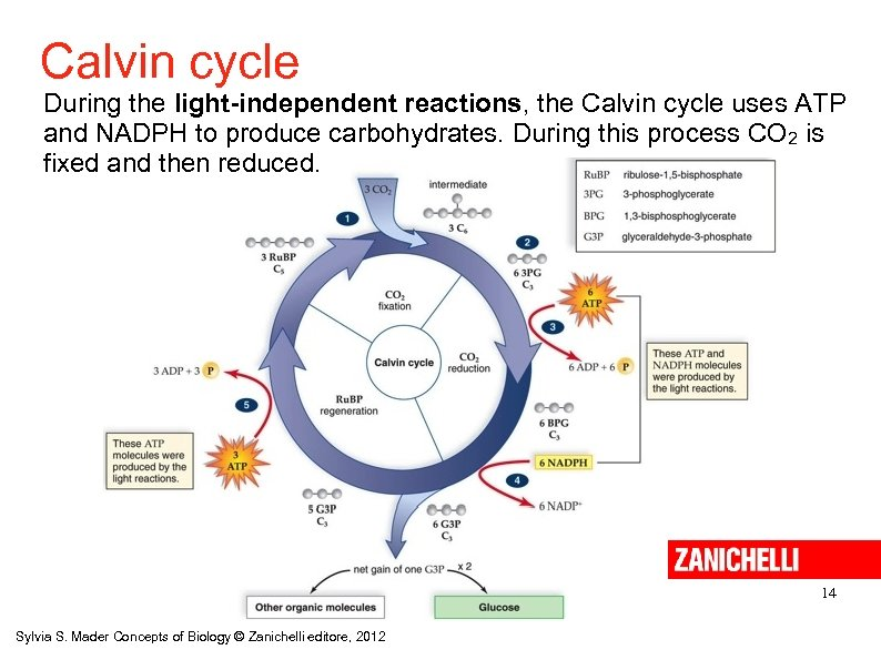 Calvin cycle During the light-independent reactions, the Calvin cycle uses ATP and NADPH to
