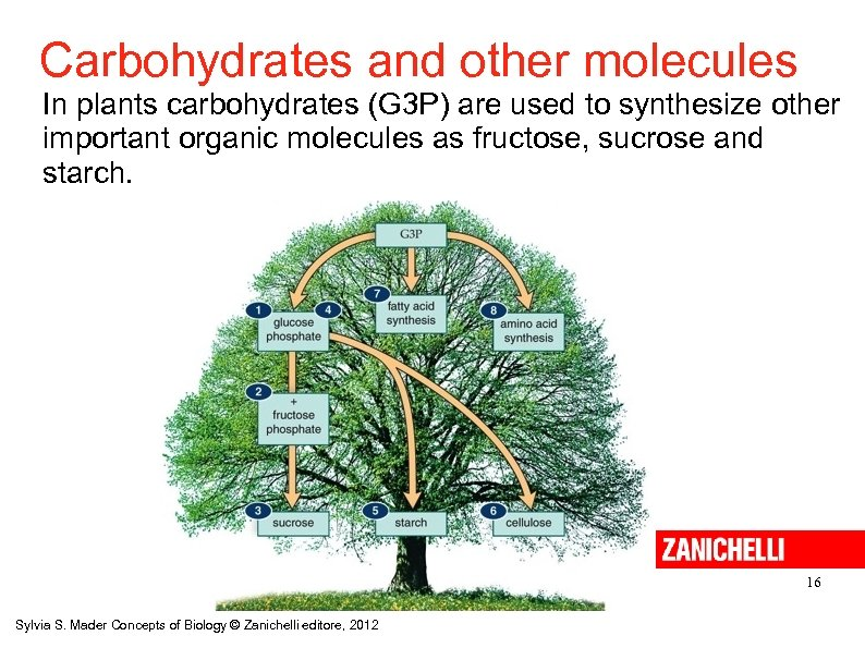 Carbohydrates and other molecules In plants carbohydrates (G 3 P) are used to synthesize