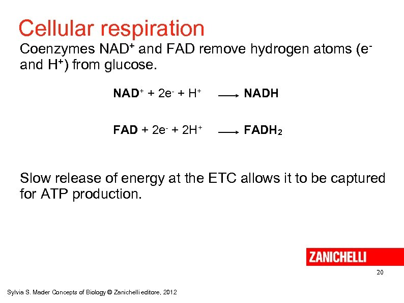 Cellular respiration Coenzymes NAD+ and FAD remove hydrogen atoms (eand H+) from glucose. NAD+