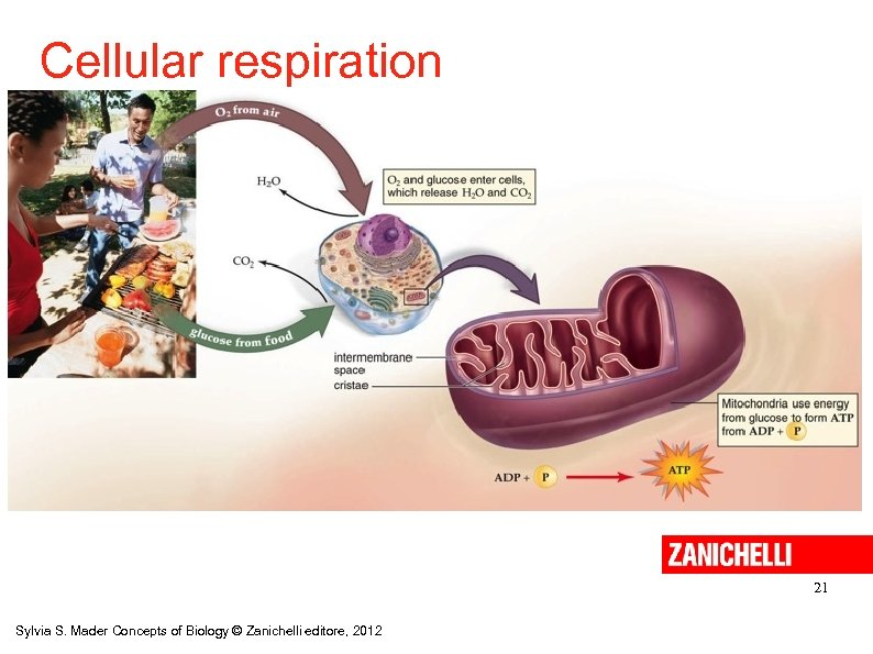 Cellular respiration 21 Sylvia S. Mader Concepts of Biology © Zanichelli editore, 2012