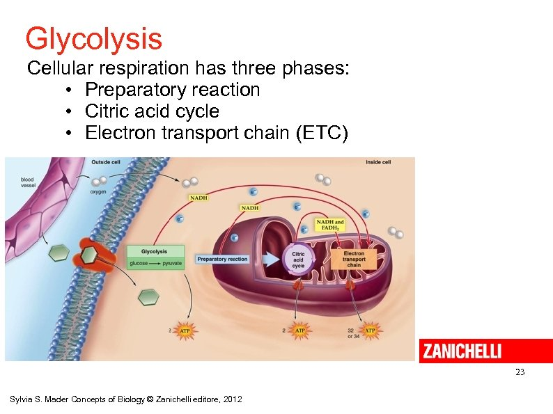 Glycolysis Cellular respiration has three phases: • Preparatory reaction • Citric acid cycle •