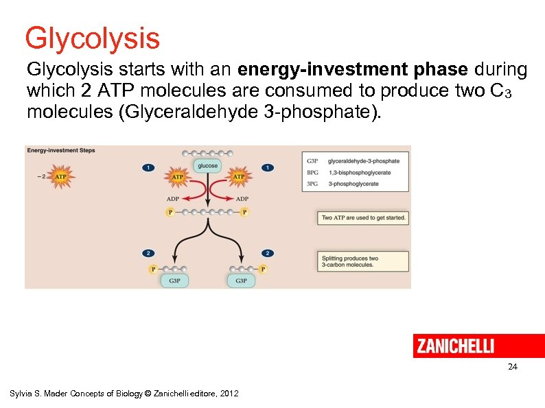 Glycolysis starts with an energy-investment phase during which 2 ATP molecules are consumed to