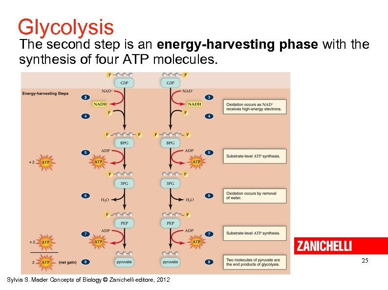 Glycolysis The second step is an energy-harvesting phase with the synthesis of four ATP
