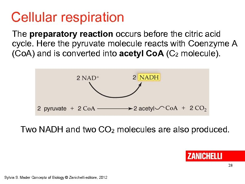 Cellular respiration The preparatory reaction occurs before the citric acid cycle. Here the pyruvate