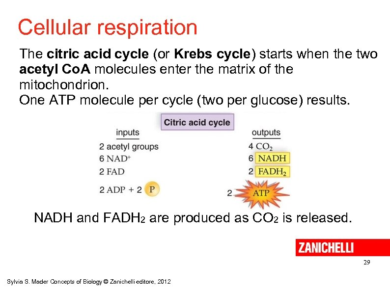 Cellular respiration The citric acid cycle (or Krebs cycle) starts when the two acetyl
