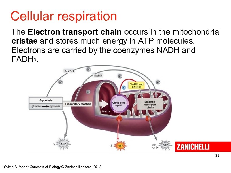 Cellular respiration The Electron transport chain occurs in the mitochondrial cristae and stores much