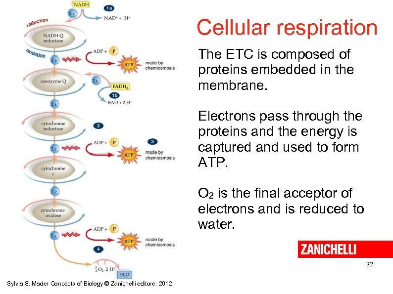 Cellular respiration The ETC is composed of proteins embedded in the membrane. Electrons pass