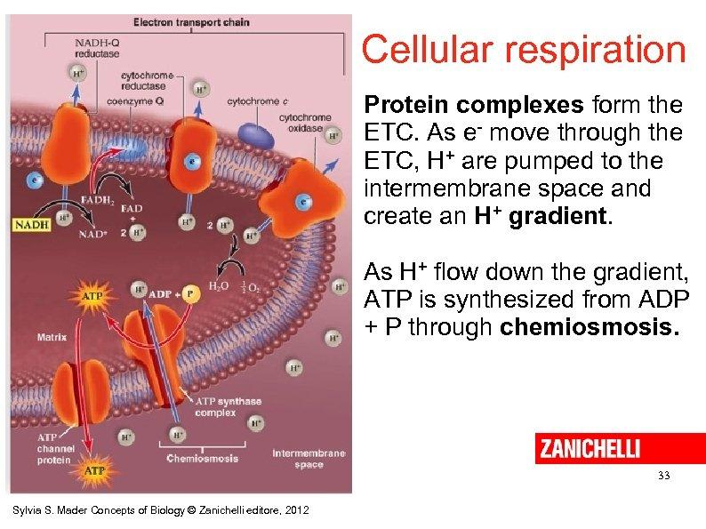 Cellular respiration Protein complexes form the ETC. As e- move through the ETC, H+