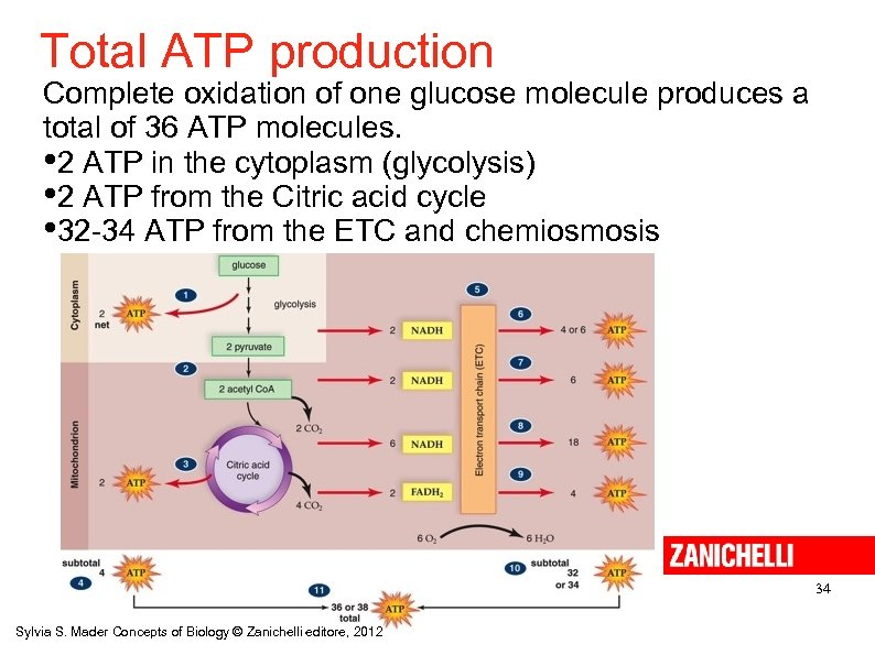 Total ATP production Complete oxidation of one glucose molecule produces a total of 36