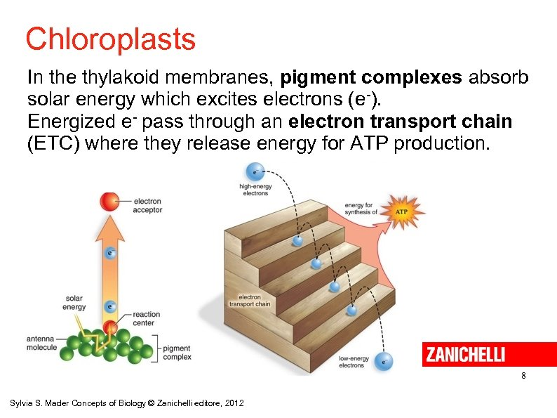 Chloroplasts In the thylakoid membranes, pigment complexes absorb solar energy which excites electrons (e-).