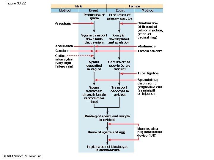 Figure 36. 22 Male Method Female Event Method Production of sperm primary oocytes Vasectomy