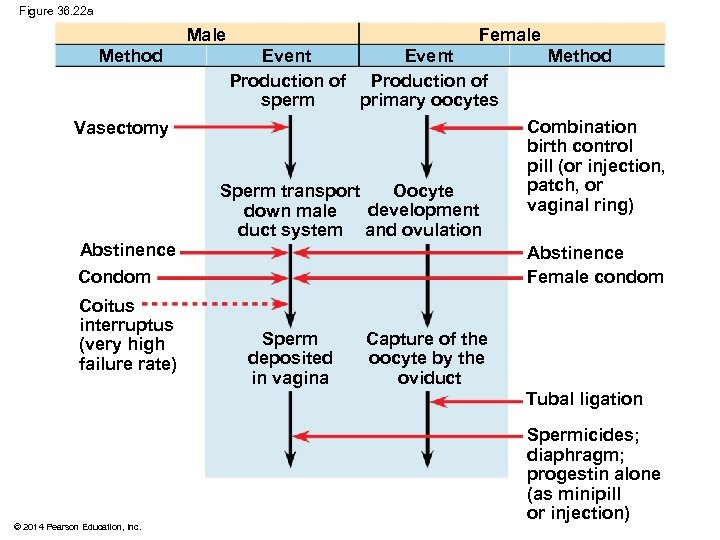 Figure 36. 22 a Male Method Female Event Production of sperm primary oocytes Vasectomy