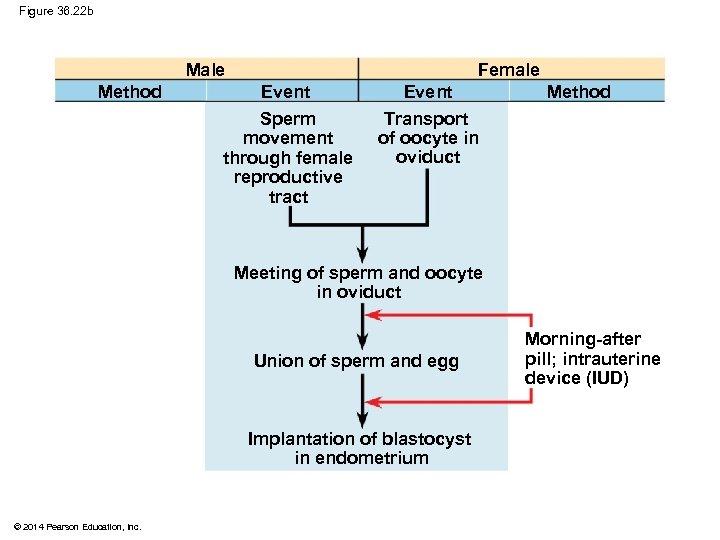 Figure 36. 22 b Male Method Female Event Sperm movement through female reproductive tract