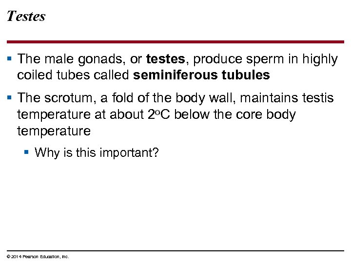 Testes § The male gonads, or testes, produce sperm in highly coiled tubes called