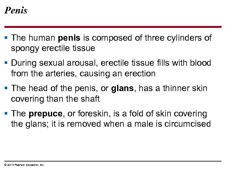 Penis § The human penis is composed of three cylinders of spongy erectile tissue