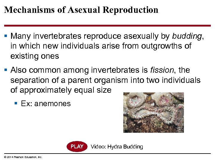 Mechanisms of Asexual Reproduction § Many invertebrates reproduce asexually by budding, in which new