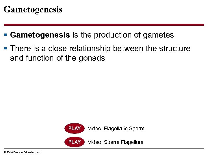 Gametogenesis § Gametogenesis is the production of gametes § There is a close relationship