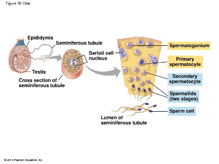 Figure 36. 10 aa Epididymis Seminiferous tubule Sertoli cell nucleus Testis Spermatogonium Primary spermatocyte