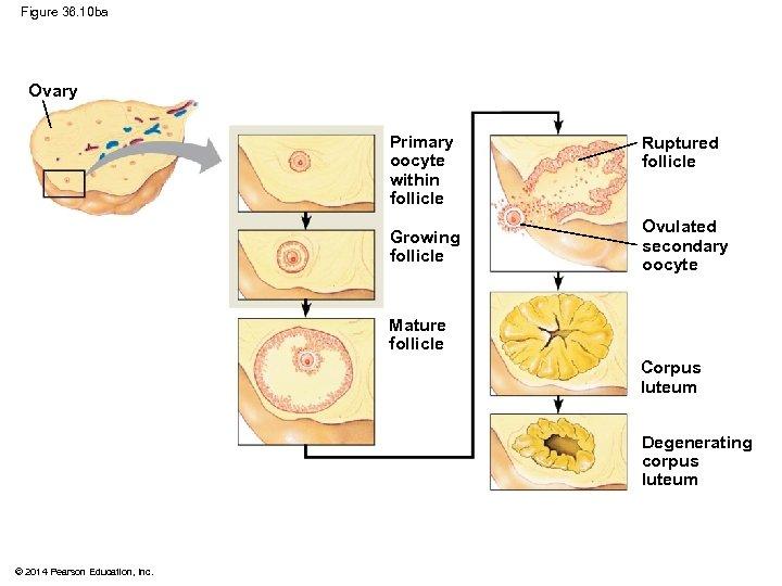 Figure 36. 10 ba Ovary Primary oocyte within follicle Growing follicle Ruptured follicle Ovulated