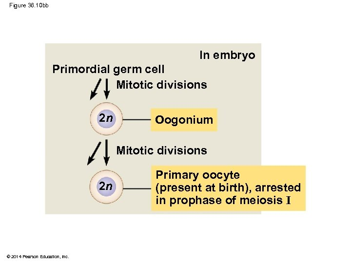 Figure 36. 10 bb In embryo Primordial germ cell Mitotic divisions 2 n Oogonium