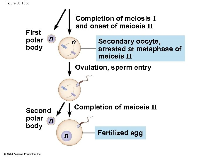 Figure 36. 10 bc Completion of meiosis I and onset of meiosis II First