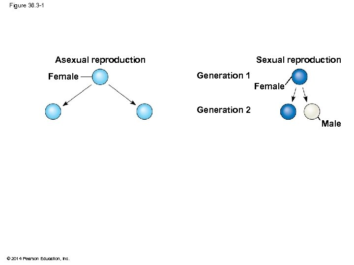 Figure 36. 3 -1 Sexual reproduction Asexual reproduction Female Generation 1 Female Generation 2