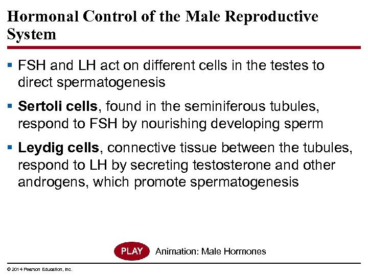 Hormonal Control of the Male Reproductive System § FSH and LH act on different