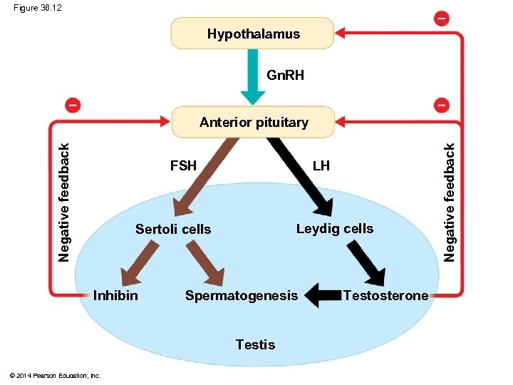 Figure 36. 12 Hypothalamus Gn. RH FSH LH Leydig cells Sertoli cells Inhibin Spermatogenesis