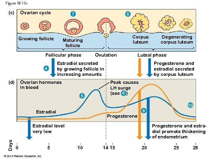 Figure 36. 13 c (c) Ovarian cycle 7 Growing follicle Maturing follicle 8 Follicular