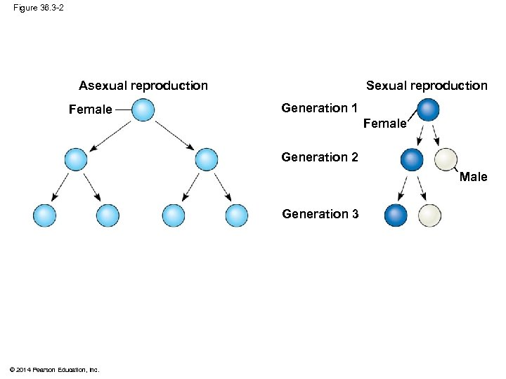 Figure 36. 3 -2 Sexual reproduction Asexual reproduction Female Generation 1 Female Generation 2