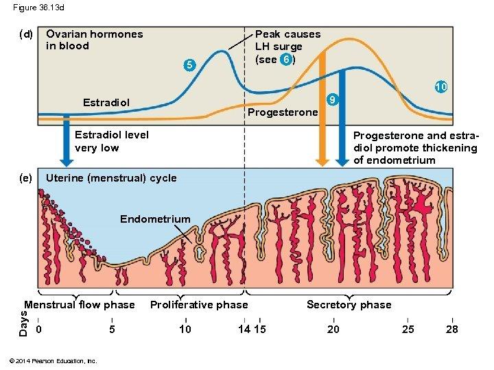Figure 36. 13 d (d) Ovarian hormones in blood Peak causes LH surge (see