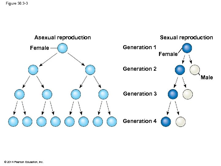 Figure 36. 3 -3 Sexual reproduction Asexual reproduction Female Generation 1 Female Generation 2
