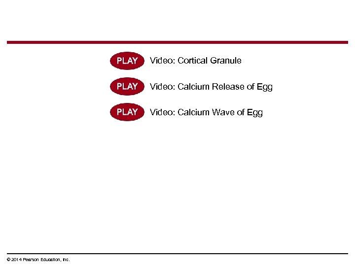 Video: Cortical Granule Video: Calcium Release of Egg Video: Calcium Wave of Egg ©