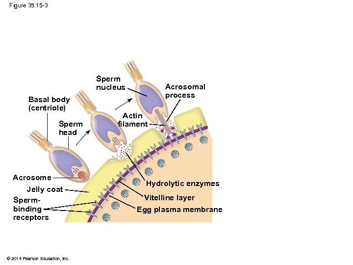 Figure 35. 15 -3 Sperm nucleus Basal body (centriole) Sperm head Acrosome Jelly coat