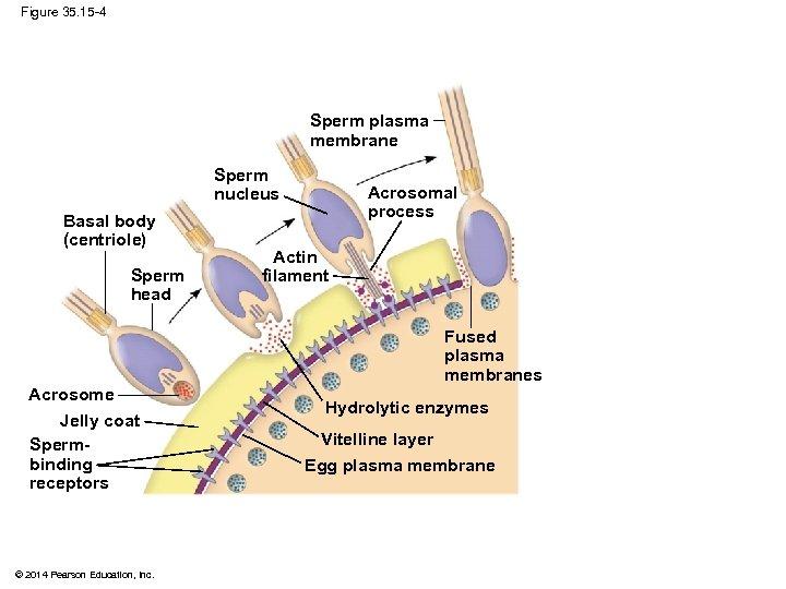 Figure 35. 15 -4 Sperm plasma membrane Sperm nucleus Basal body (centriole) Sperm head