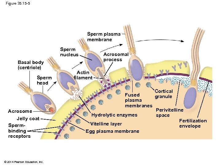 Figure 35. 15 -5 Sperm plasma membrane Sperm nucleus Basal body (centriole) Sperm head