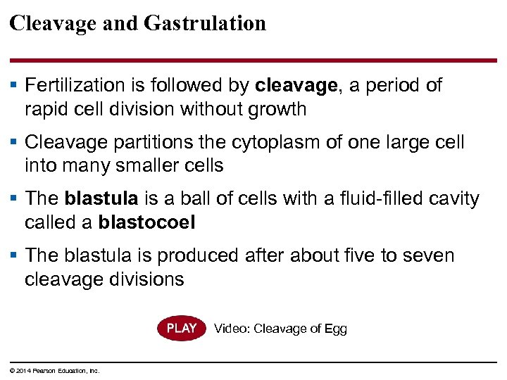 Cleavage and Gastrulation § Fertilization is followed by cleavage, a period of rapid cell
