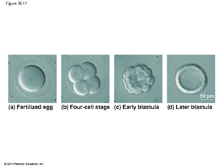 Figure 36. 17 50 m (a) Fertilized egg © 2014 Pearson Education, Inc. (b)