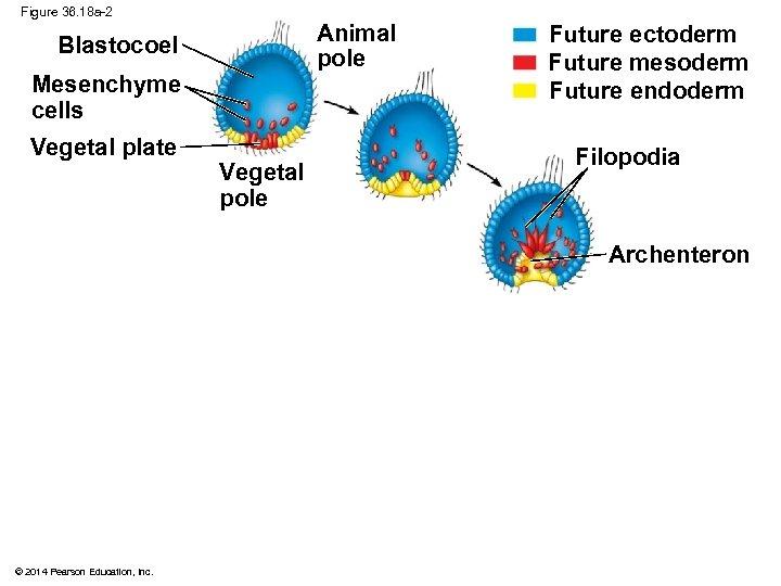 Figure 36. 18 a-2 Animal pole Blastocoel Mesenchyme cells Vegetal plate Vegetal pole Future
