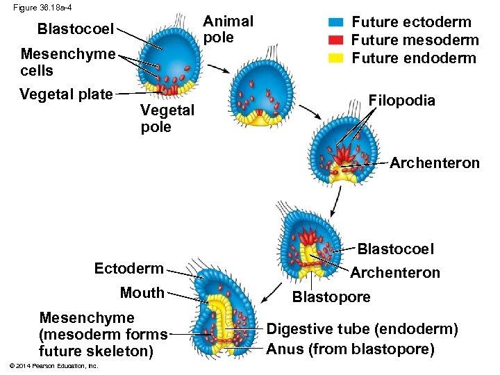 Figure 36. 18 a-4 Animal pole Blastocoel Mesenchyme cells Vegetal plate Vegetal pole Future