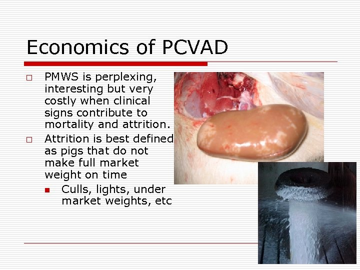 Economics of PCVAD o o PMWS is perplexing, interesting but very costly when clinical
