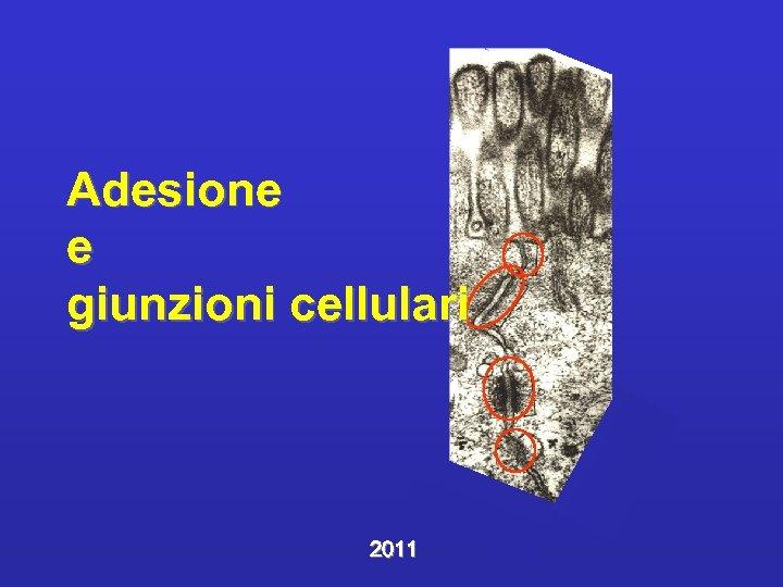 Adesione e giunzioni cellulari 2011